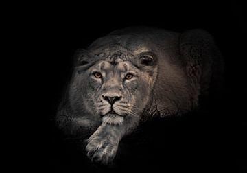 maandier (ashen). Leeuwin in de nacht. leeuwin mooie grote kat ligt imposant en kijkt naar je. nacht van Michael Semenov