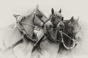 Driespan Trekpaarden portret in sepia van