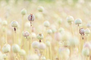 Pastelkleur Papaverbollen van Roosmarijn Bruijns