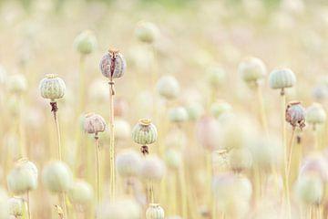 Pastelkleur Papaverbollen