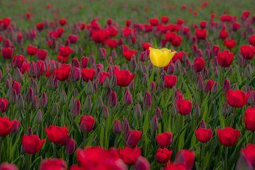 Een gele tulp in rood tulpenveld van Moetwil en van Dijk - Fotografie
