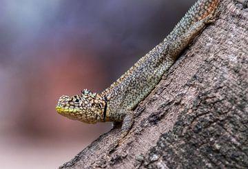 Kielschwanz-Leguan auf einem Baumstamm von Thijs van den Burg