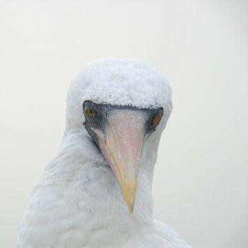 nazca booby in Galapagos van Jacintha Van beveren