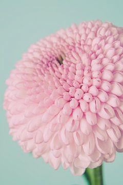 Nahaufnahme Dahlie in Pastelltönen von Natascha Teubl