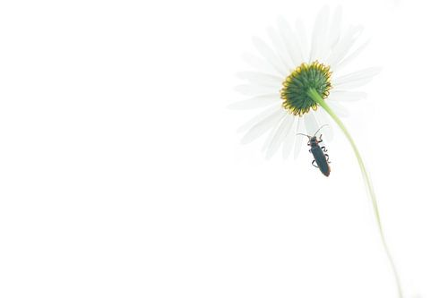 Margriet met insect