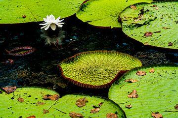 Tropische Lotus in de Amazone van