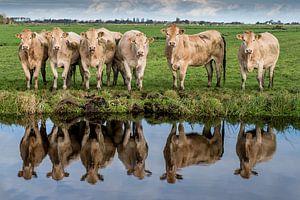 Koeien langs de sloot van