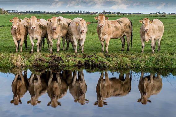 Koeien langs de sloot