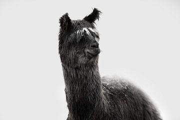 Alpaka von Kim van Beveren