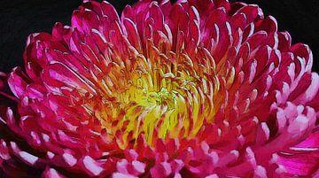 Chrysantheme Blume Rosa von Schildersatelier van der Ven