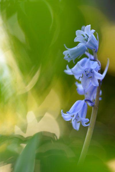 Wilde hyacint van Gonnie van de Schans