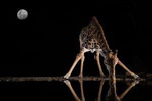 Een giraf drinkt midden in de nacht van een watertje