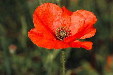 Rote Blume Mohn / Mohn von Olena Tselykh