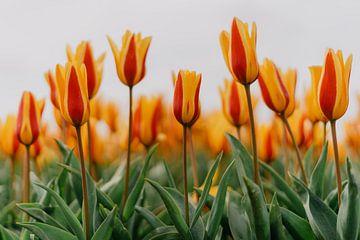 Tulpen van Myrthe Vlasveld