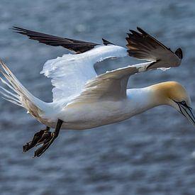 Vliegende Jan van Gent. (Morus bassanus) van Leo Luijten