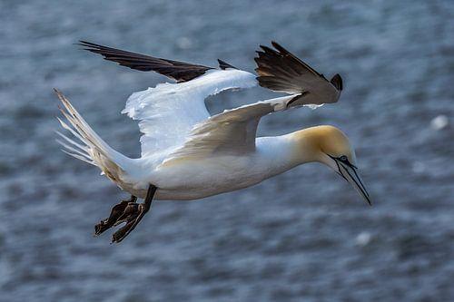 Vliegende Jan van Gent. (Morus bassanus)