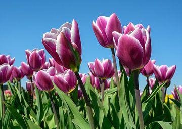 Paarse tulpen tegen een blauwe lucht van Michel Knikker