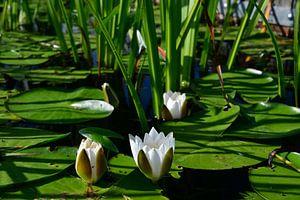 Waterlelies in bloei van Saskia Veenstra