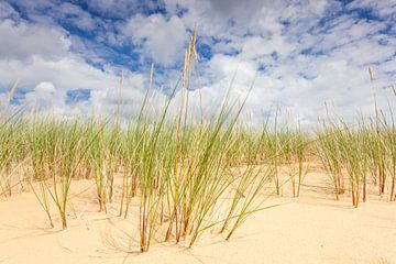 Helmgras op zandduinen Aekingerzand van Jurjen Veerman