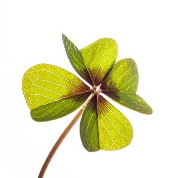 Vierblättriges Kleeblatt (Glück) von Peter Hermus