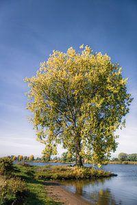 Herfstboom aan de Maas van