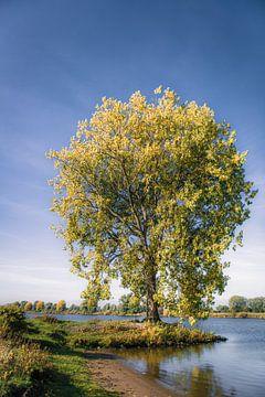Herfstboom aan de Maas von Ingeborg Ruyken