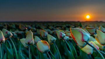 Tulpen op Texel van