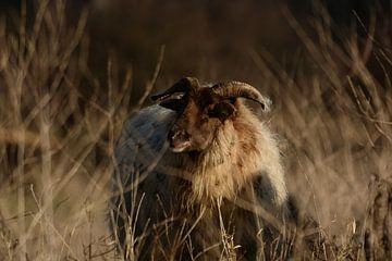Schafe zwischen der Überwucherung von Latifa - Natuurfotografie
