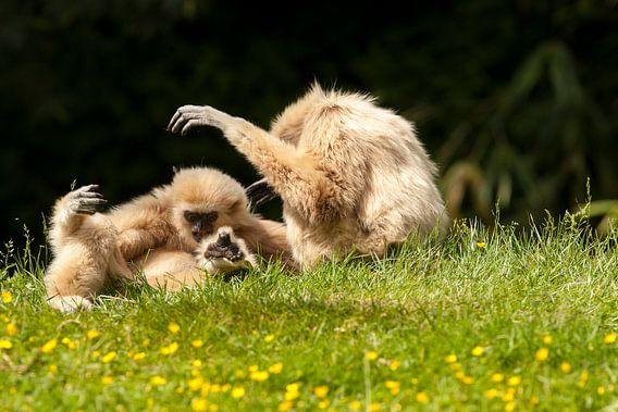 Withandgibbons spelen