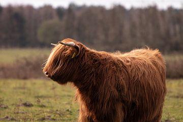 Schotse hooglander van Mandy van Tilborg
