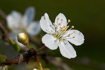 Lente bloesem peer van Ad Jekel
