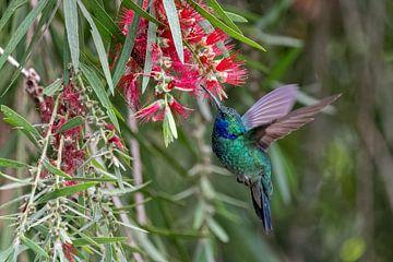 Hummingbird sur Eddy Kuipers