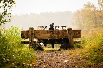 Border collie Fenna kijkt om von Pieter Bezuijen