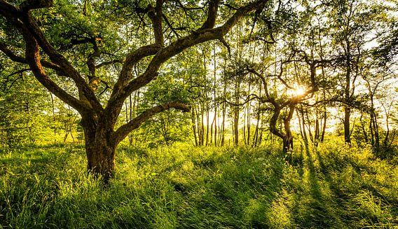 Tegenlicht in boomgaard Westerkwartier