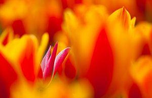 Tulpen in Bollenstreek