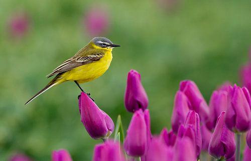 Een gele kwikstaart op een tulp in een tulpenveld van
