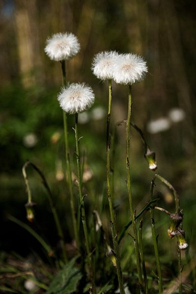 Fleurs de pissenlit sur Percy's fotografie