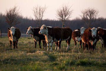 Koeien op landgoed Scholtenszathe in Drenthe van