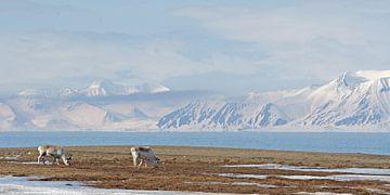 Rendieren op Spistbergen von LTD photo