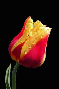 Yellow and red tulip van Ioana Hraball