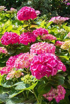 pink hydrangea in garden van Compuinfoto .