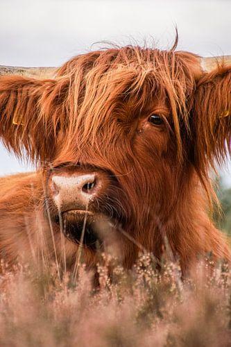 Subtiel portret van de Schotse Hooglander tussen de heide