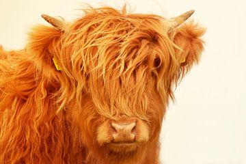 Schotse hooglander kop kalf zomerkleur