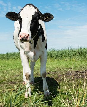 cow looking at camera van Compuinfoto .