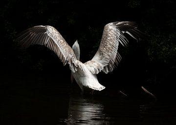 Pelikan von Carla van Zomeren