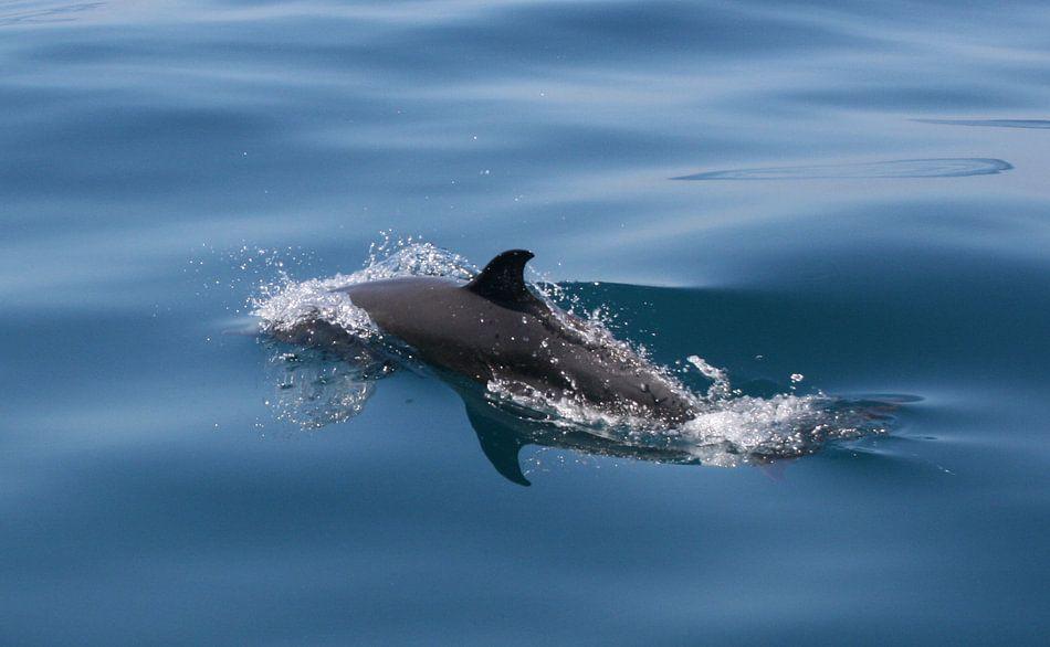Dolphin van Paul Optenkamp