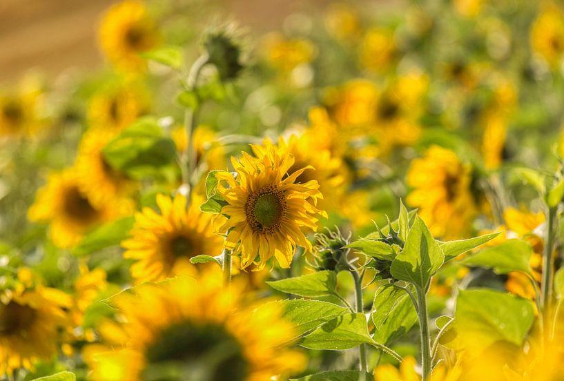 Zonnebloemen in een Zonnebloemenveld van John Kreukniet