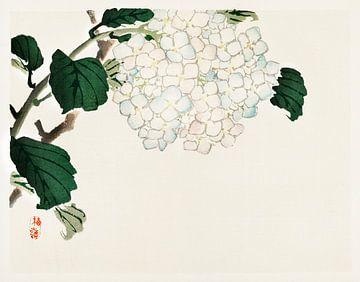 Japanische Hortensie Illustration von Kōno Bairei von Studio POPPY