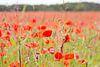 Klaprozen veld in Engeland van Servan Ott thumbnail