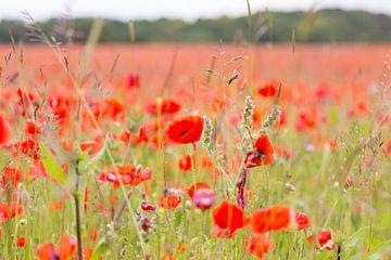 Bloemen en planten | Klaprozen veld in Engeland van Servan Ott
